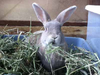 Rabbit eating hay in litterbox